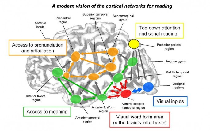 How The Brain Works When Mastering Reading